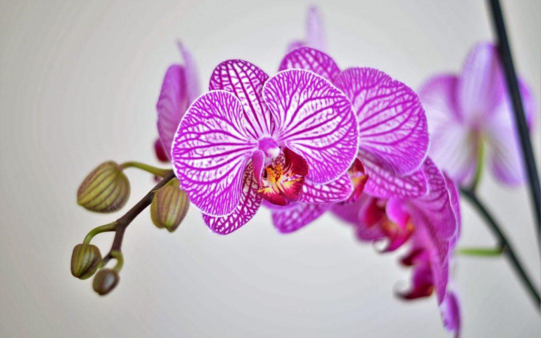 Orkidéerne er over os
